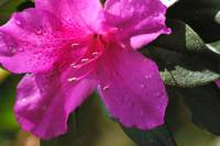 droplets on pink azalea bloom