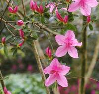 Pink azalea blooms trio with buds in background