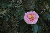 tiny pink camellia blossom with drape of spanish m