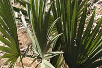 Trio of palmetto fronds