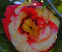 tight white and pink camellia bloom