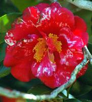 red and white frilly camellia with branchwork