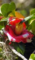 candycane striped camellia bloom with spanish moss