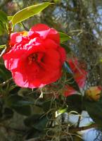 pretty in pink camellia bloom with spanish moss