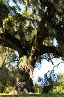 grand oak with Spanish moss