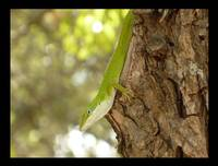 Anole on Tree
