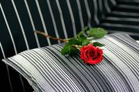 Red Rose in black stripes