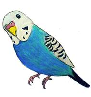 Parakeet Drawing