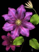 Flaming Clematis