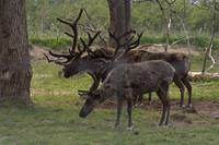 The difference between Caribou and reindeer? Reind