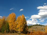 Aspen Trees, Yellowstone National Park