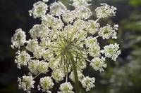 Queen Anne's Lace Facing the Sun