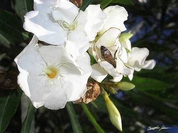 Single White Oleander with Bee 1