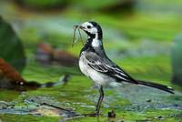 Wagtail with dinner