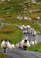 Sheep on the Road in Scotland