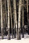 Aspen Trunks 2A, RMNP, Colorado