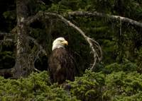Bald Eagle, looking right
