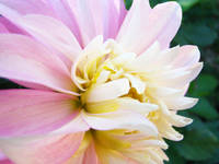 FLORALS Pink White Dahlia Art Prints Giclee