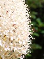 Beargrass Close Up