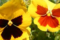 Bright Yellow Pansies