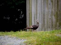 Wild Turkey at the Barn