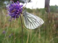 Green-veined White Butterfly on Field Scabious