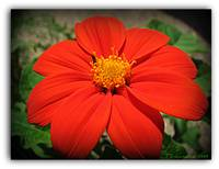 Mexican Sunflower Tithonia rotundifolia Flower