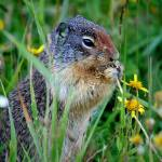 Montana Ground Squirrel Prints & Posters