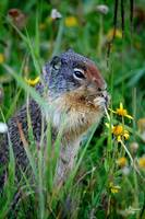 Montana Ground Squirrel