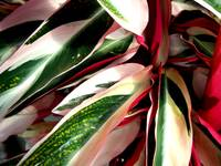 stripeleaves6
