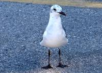 Gull with speckled head