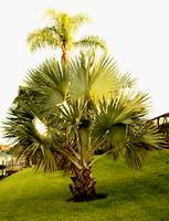 Palm and Palmetto