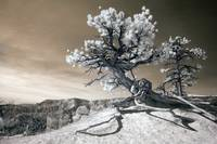 Bryce Canyon Tree Sculpture - infrared landscape