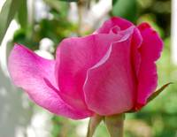Closeup of Pink Rose