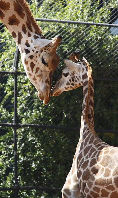 Giraffe Mother And Baby By Diana Claxton