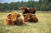 Highland Cattle Posse