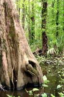 LOUISIANA SWAMP TREES