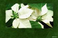 White Poinsettias 1