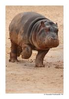 Baby Hippo on the Run