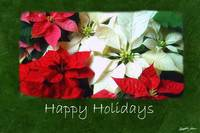 Mixed Color Poinsettias 1 - Happy Holidays