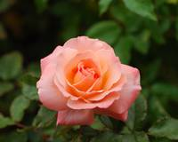 Bill Warriner Rose