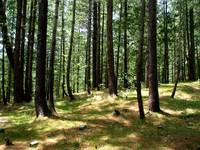 Cool Pine Forests nathiagali IMG_900706