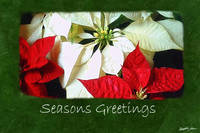 Mixed Color Poinsettias 2 - Seasons Greetings