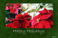 Mixed Color Poinsettias 3 - Happy Holidays