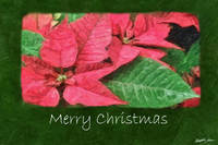 Pink Poinsettias 4 Painterly - Merry Christmas