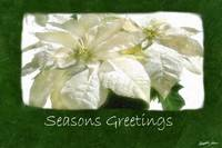 White Poinsettias 2 - Seasons Greetings