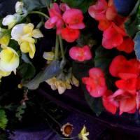 *Garden Begonias by Patricia Schnepf