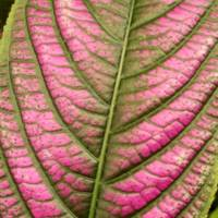 Leaf Veins in Magenta and Green