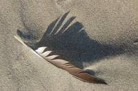Feathered Shadow