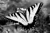 Swallow Tail Butterfly on Buterfly Black and White